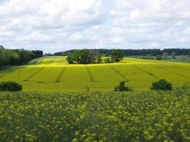 Fields of rape seed